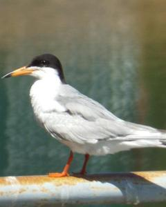 Common/Forster's Tern