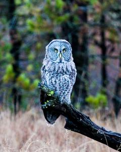 Great Gray Owl (American)