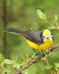 Golden-fronted Redstart (Yellow-fronted)