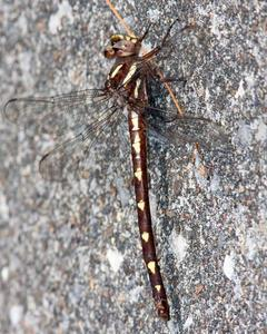 Brown Spiketail