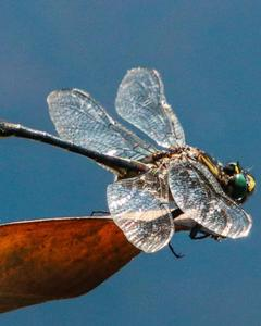 Clearlake Clubtail
