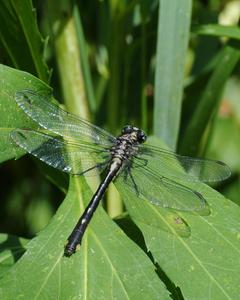 Green-faced Clubtail