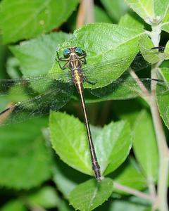 Yellow-sided Clubtail