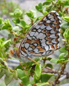 Acastus Checkerspot