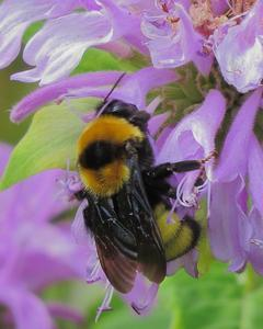 Black and gold bumble bee