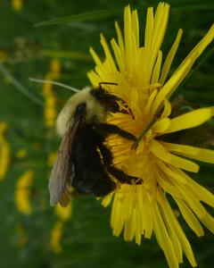 Lemon cuckoo bumble bee