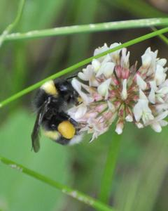 Cryptic bumble bee