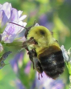 Brown-belted bumble bee