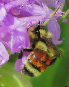 Hunt's bumble bee