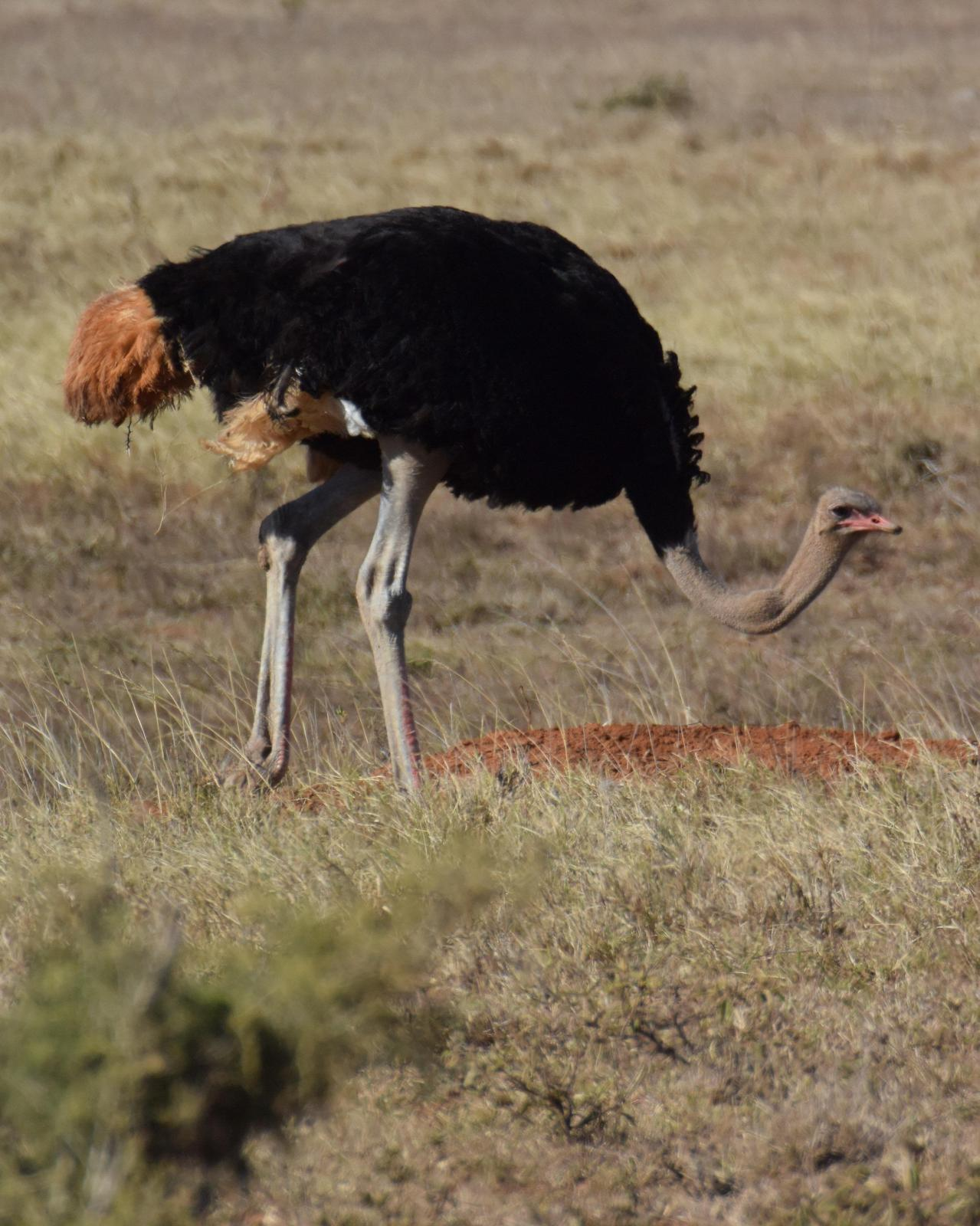 Common Ostrich Photo by Steve Percival