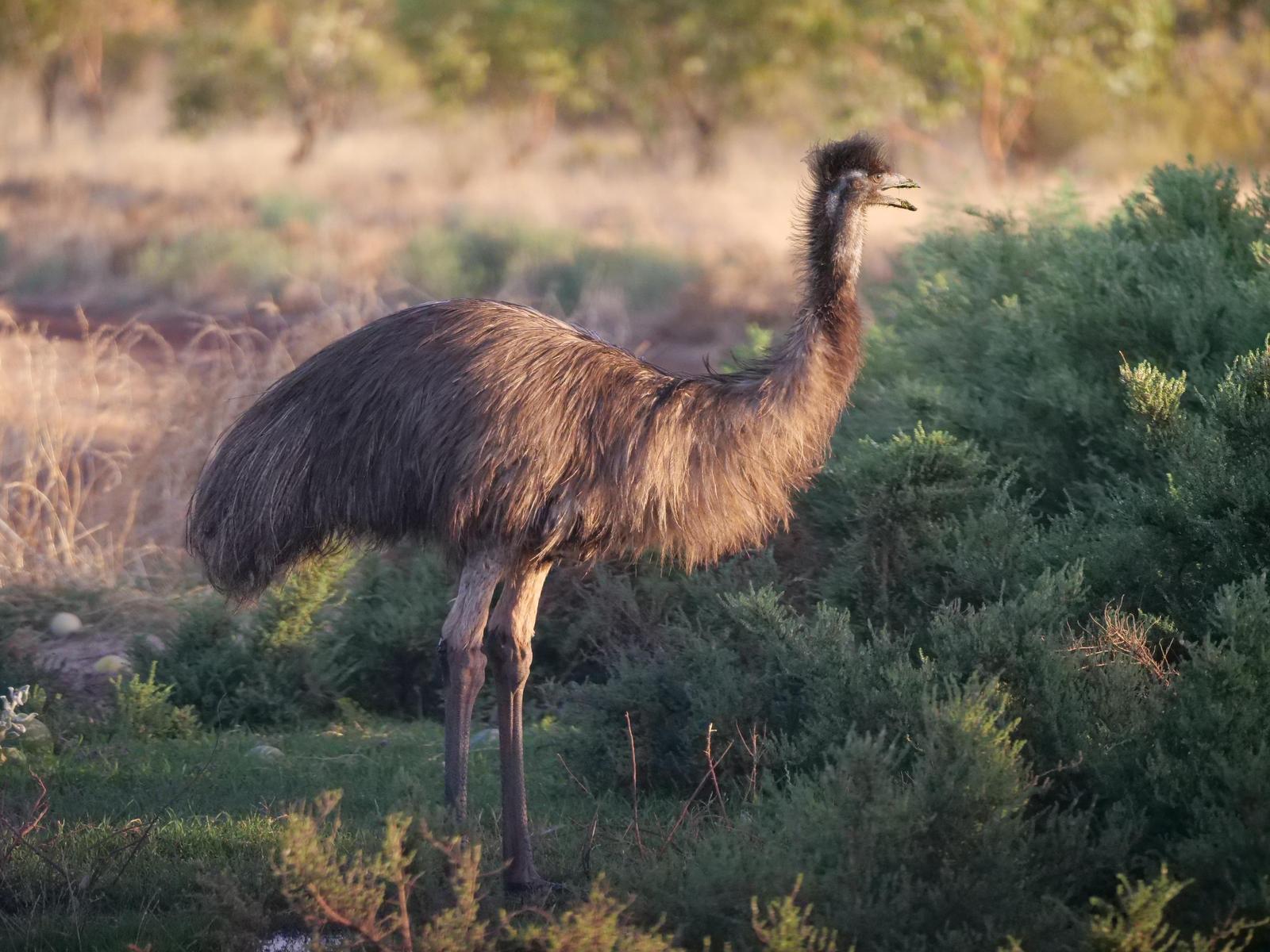 Emu Photo by Peter Lowe