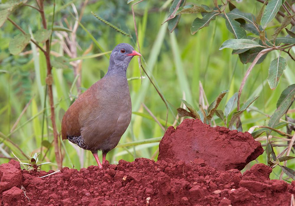 Small-billed Tinamou Photo by Antonio Girotto