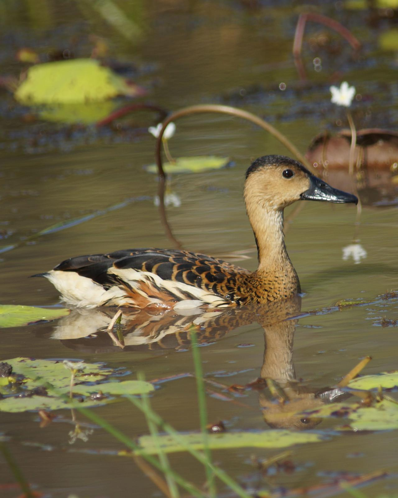 Wandering Whistling-Duck Photo by Steve Percival