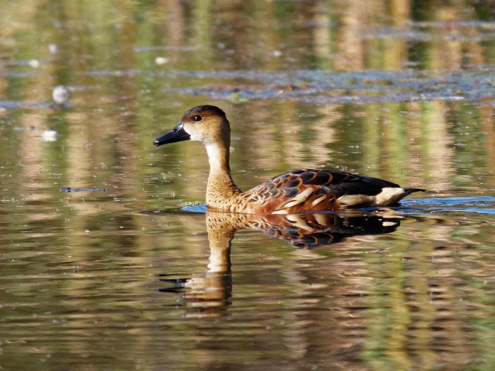 Wandering Whistling-Duck Photo by Peter Lowe