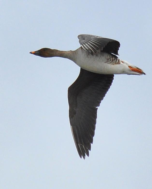 Tundra Bean-Goose Photo by Ryan P. O'Donnell