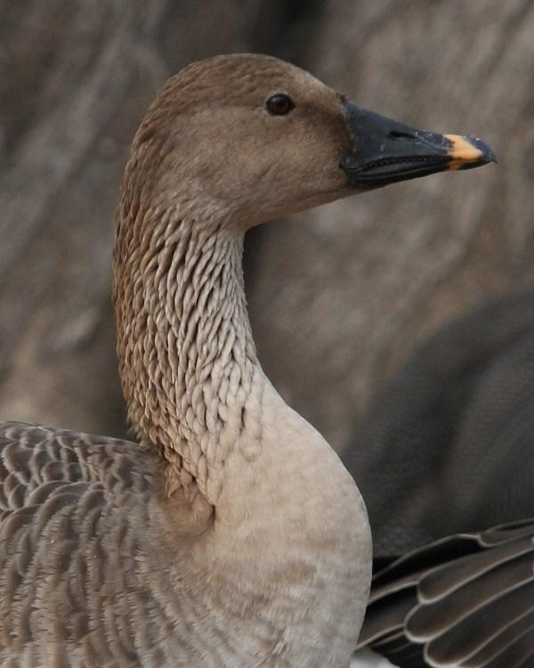 Tundra Bean-Goose Photo by Monte Taylor