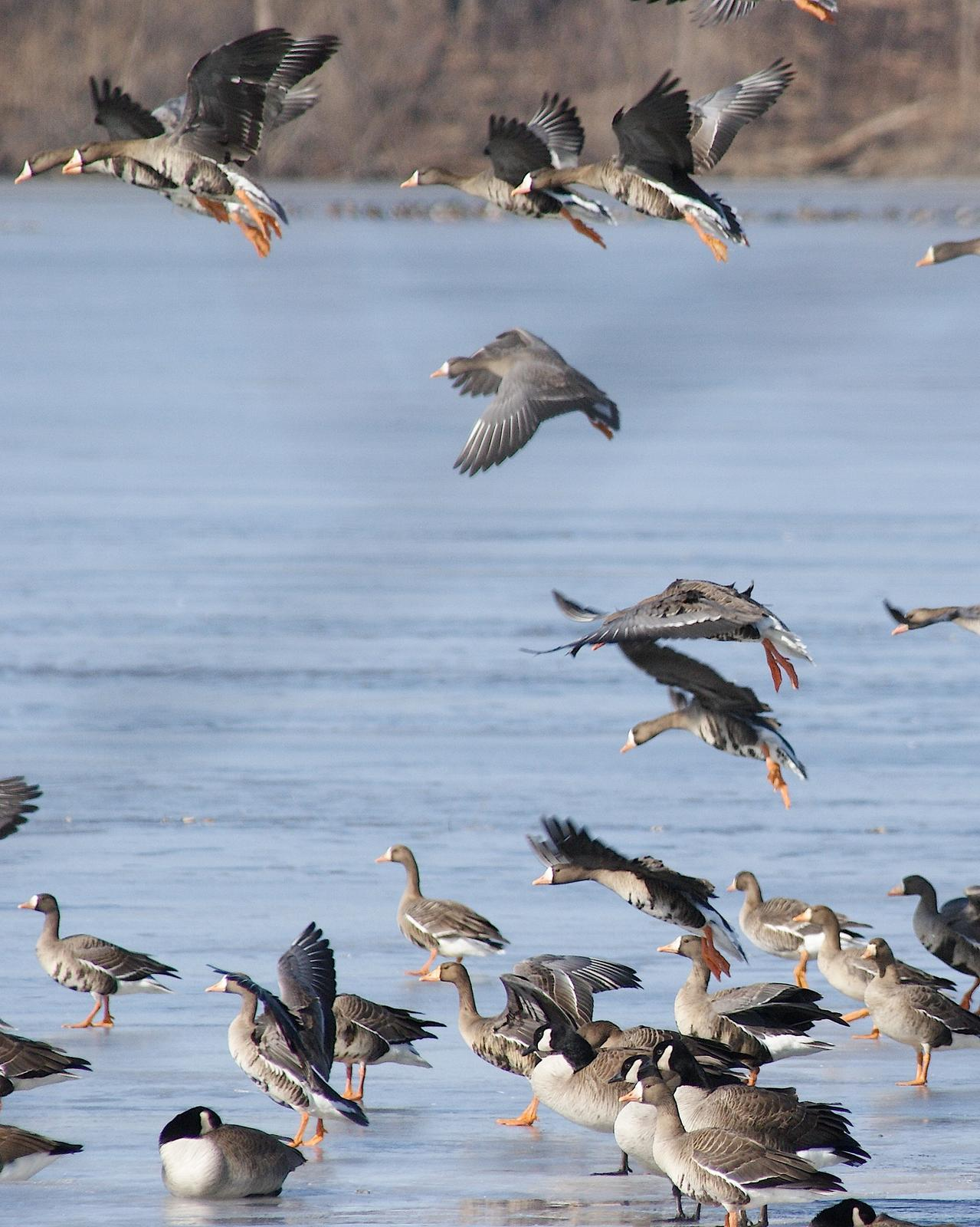 Greater White-fronted Goose Photo by Gerald Hoekstra