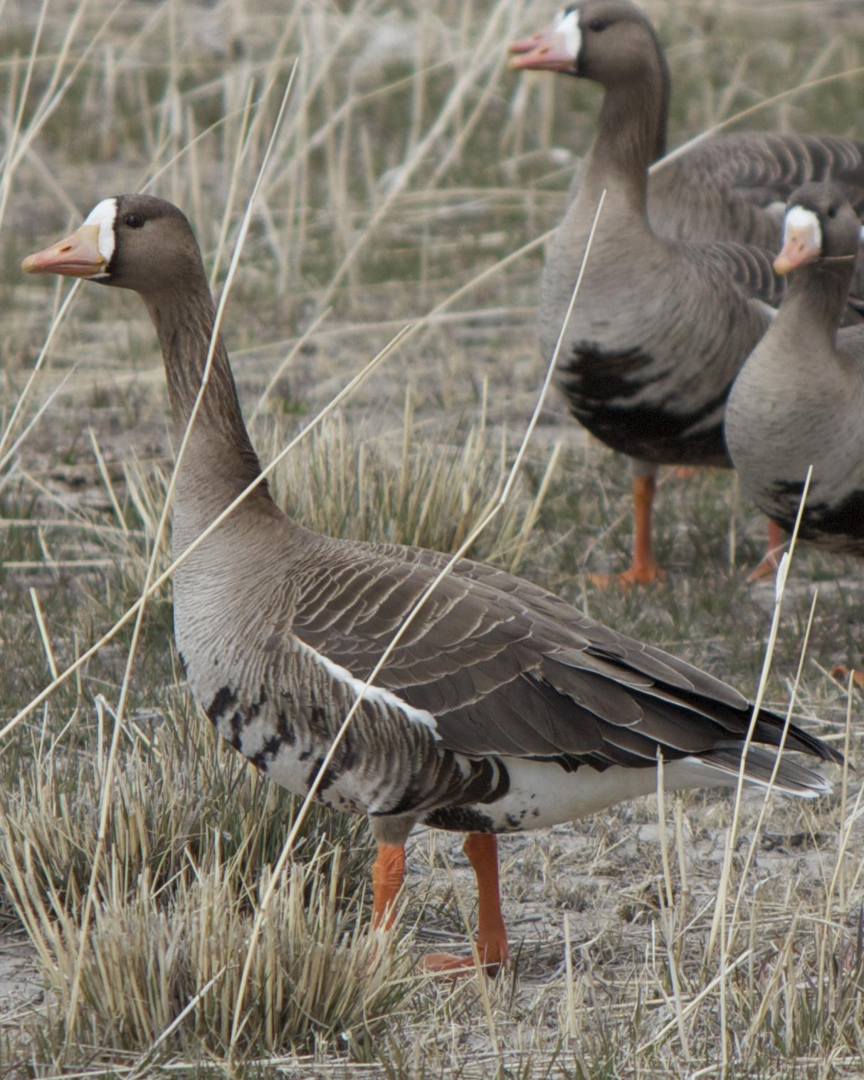 Greater White-fronted Goose Photo by Mark Baldwin