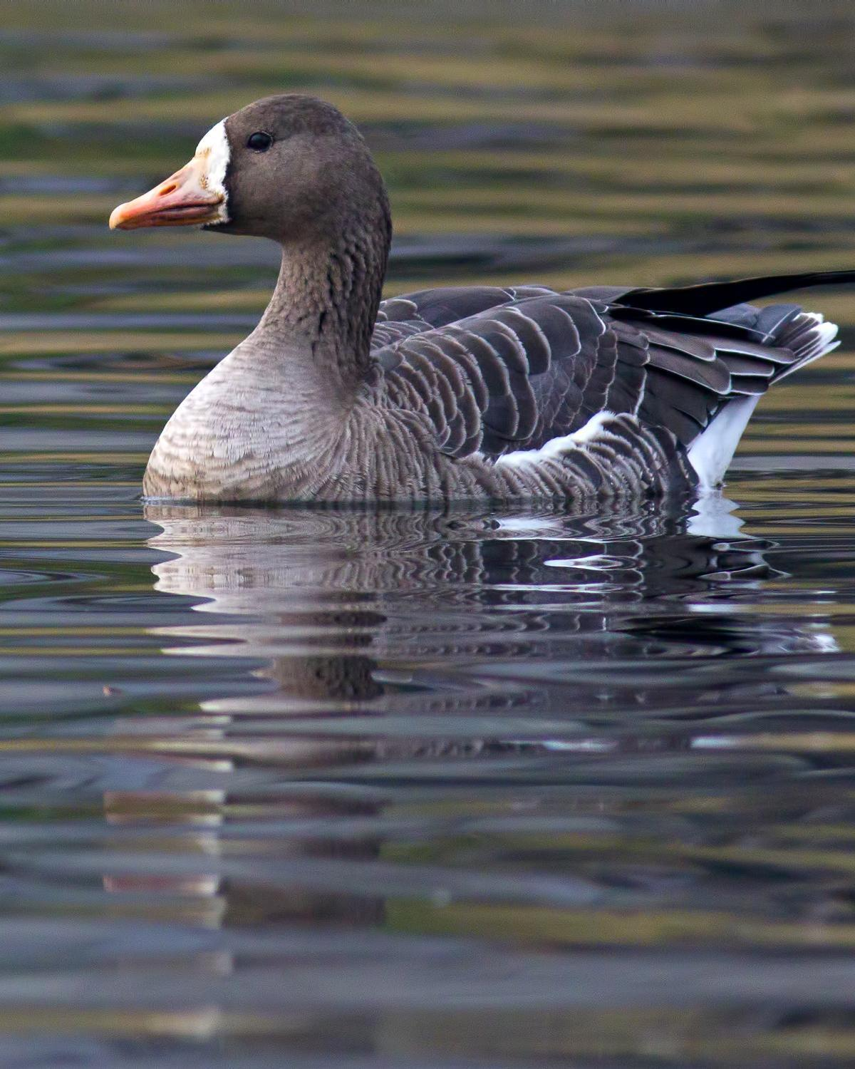 Greater White-fronted Goose Photo by Rob Dickerson