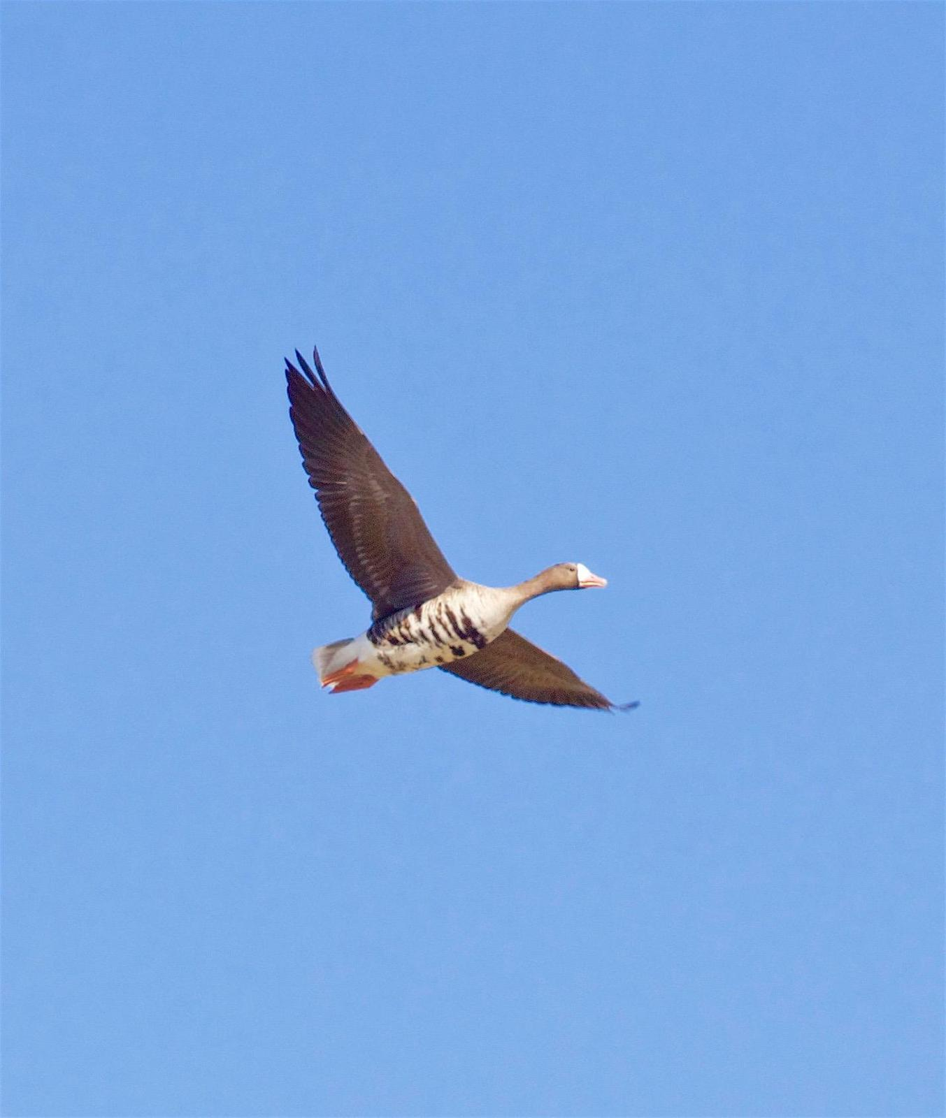 Greater White-fronted Goose Photo by Kathryn Keith