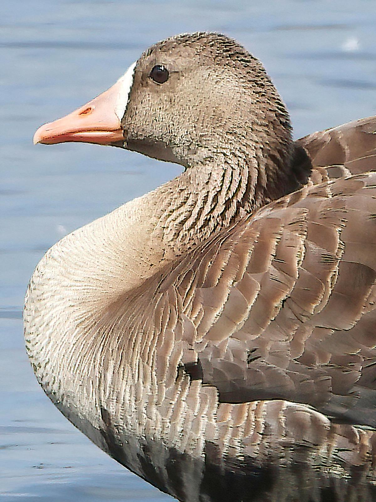 Greater White-fronted Goose Photo by Dan Tallman