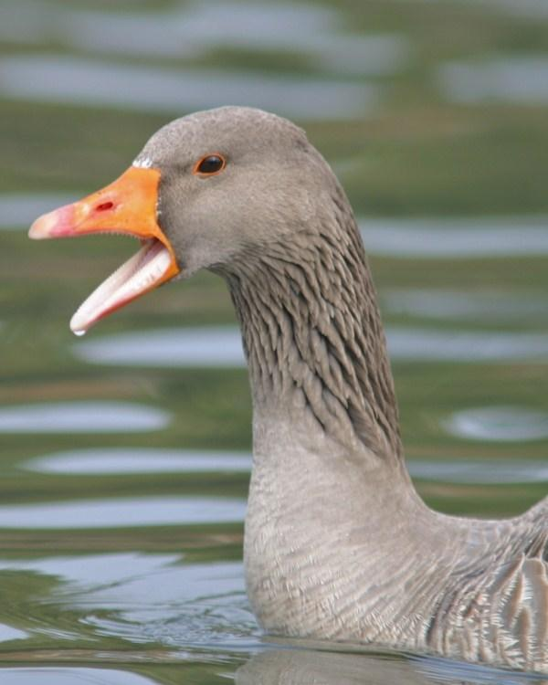 Greater White-fronted Goose Photo by Monte Taylor