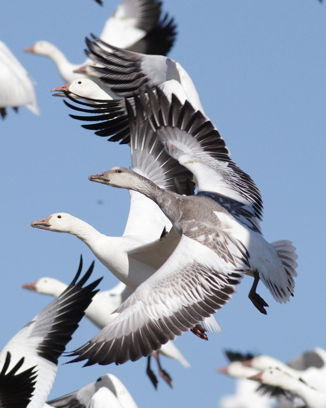 Snow Goose Photo by Alex Lamoreaux