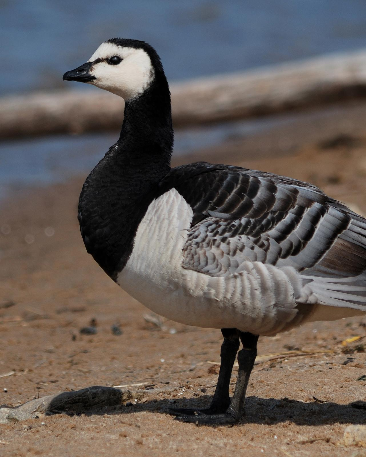 Barnacle Goose Photo by Mark Blassage
