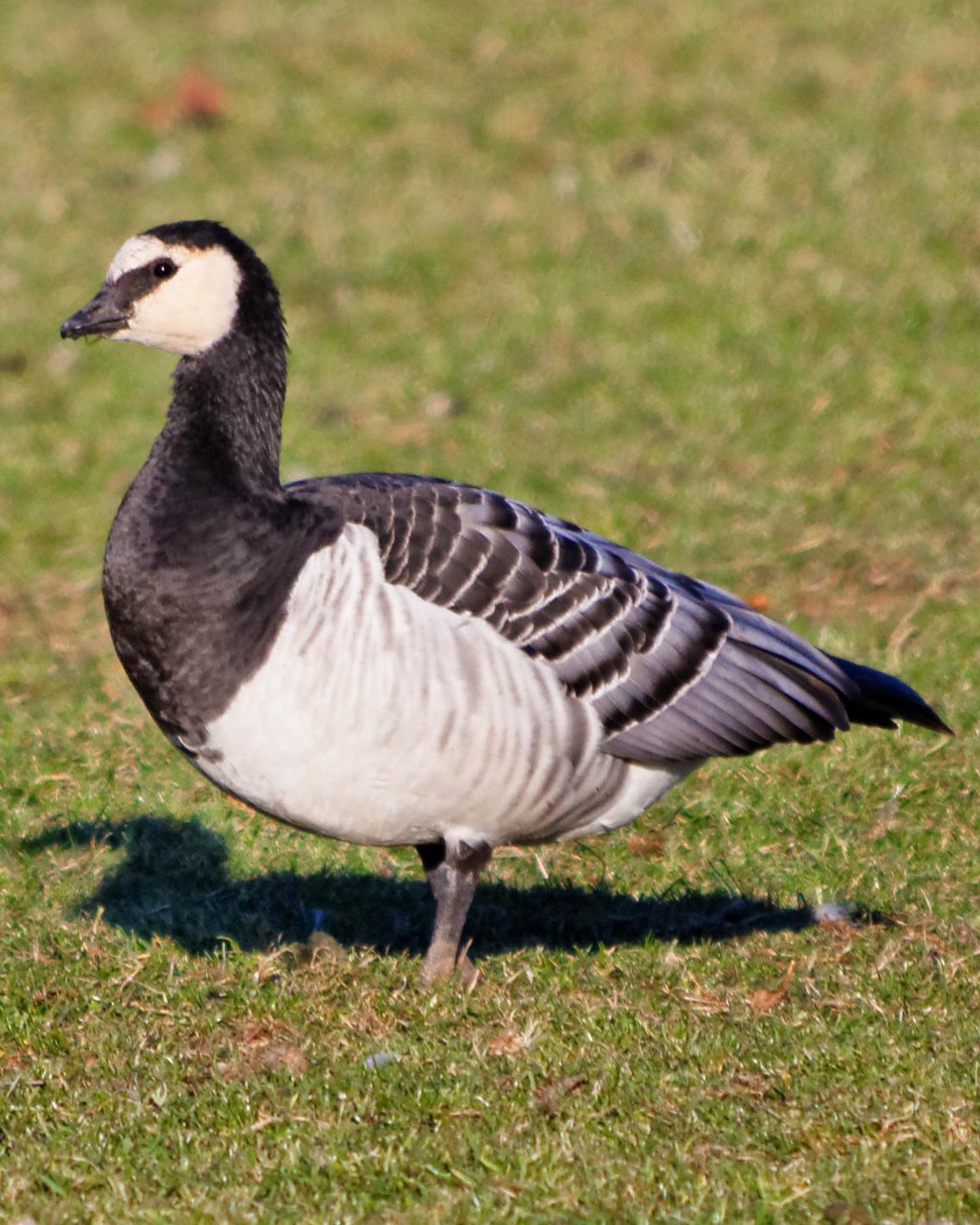 Barnacle Goose Photo by Eleanor Kwik