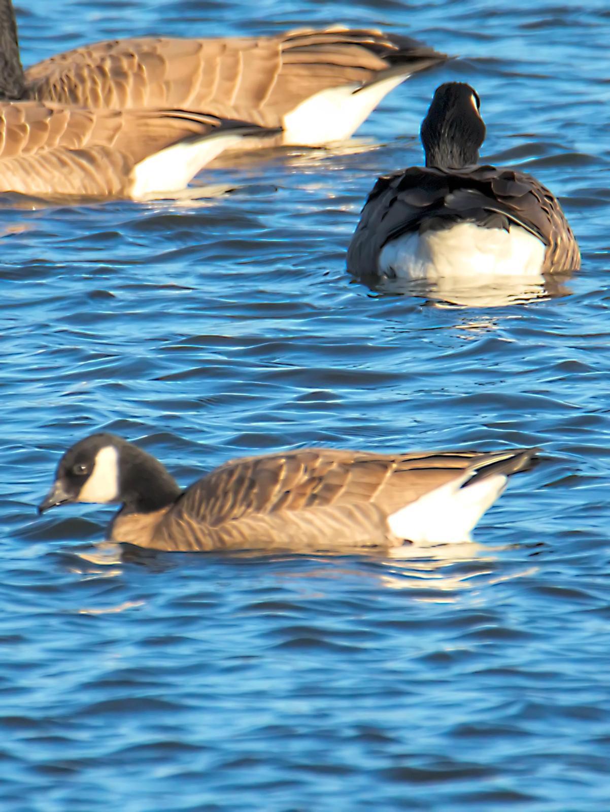 Cackling Goose Photo by Dan Tallman