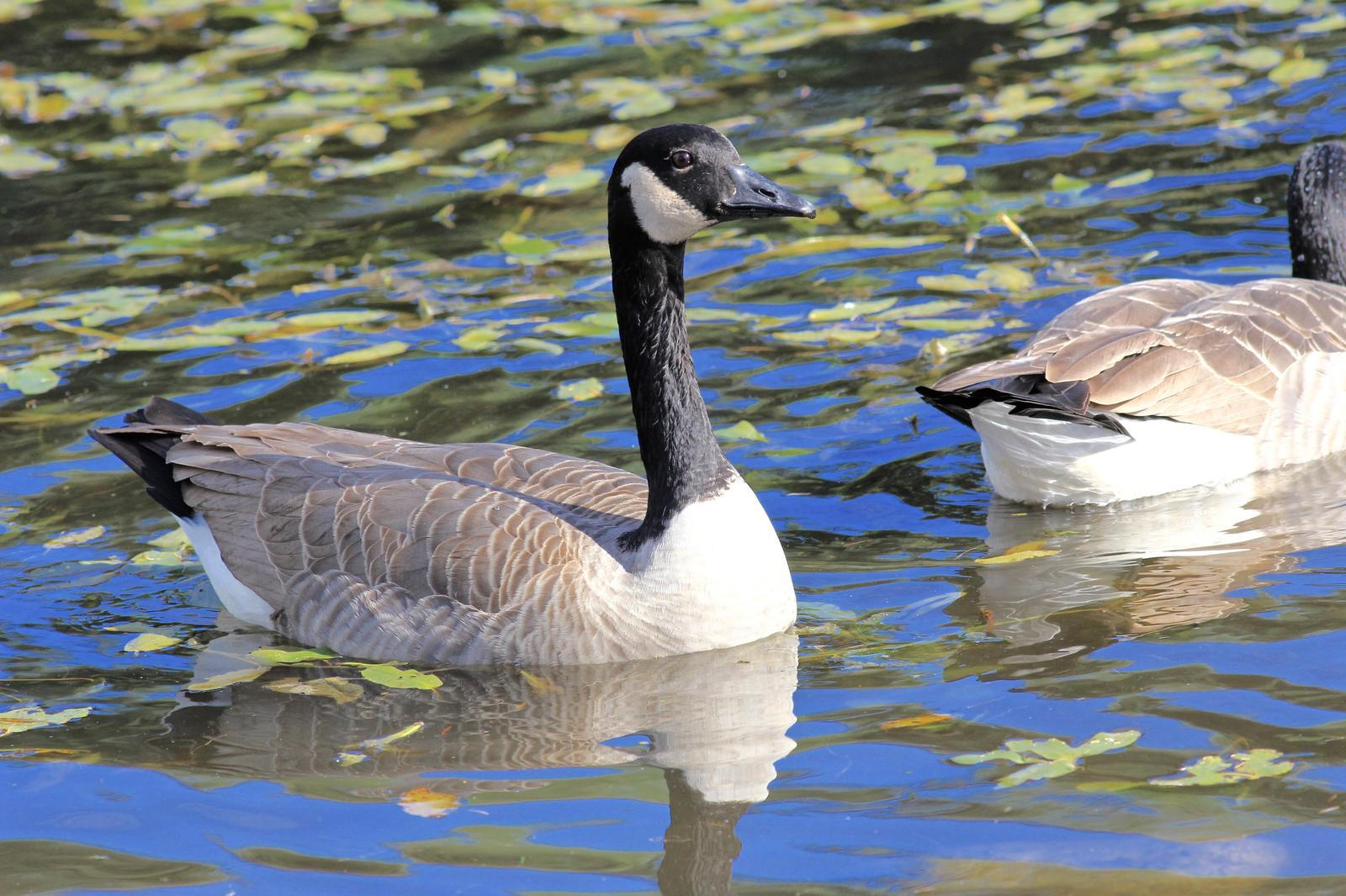 Canada Goose Photo by Kathryn Keith