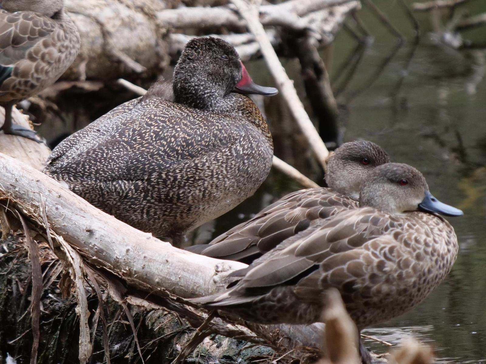 Freckled Duck Photo by Peter Lowe