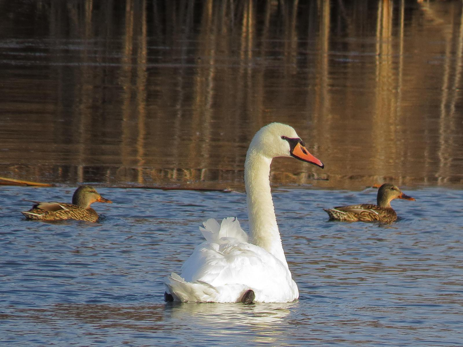 Mute Swan Photo by Kent Jensen