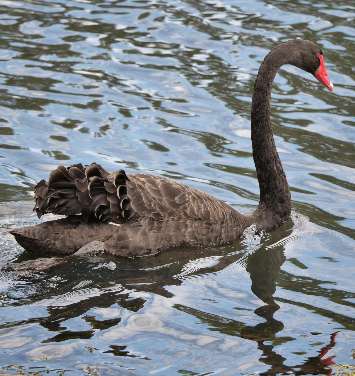 Black Swan Photo by Peter Lowe