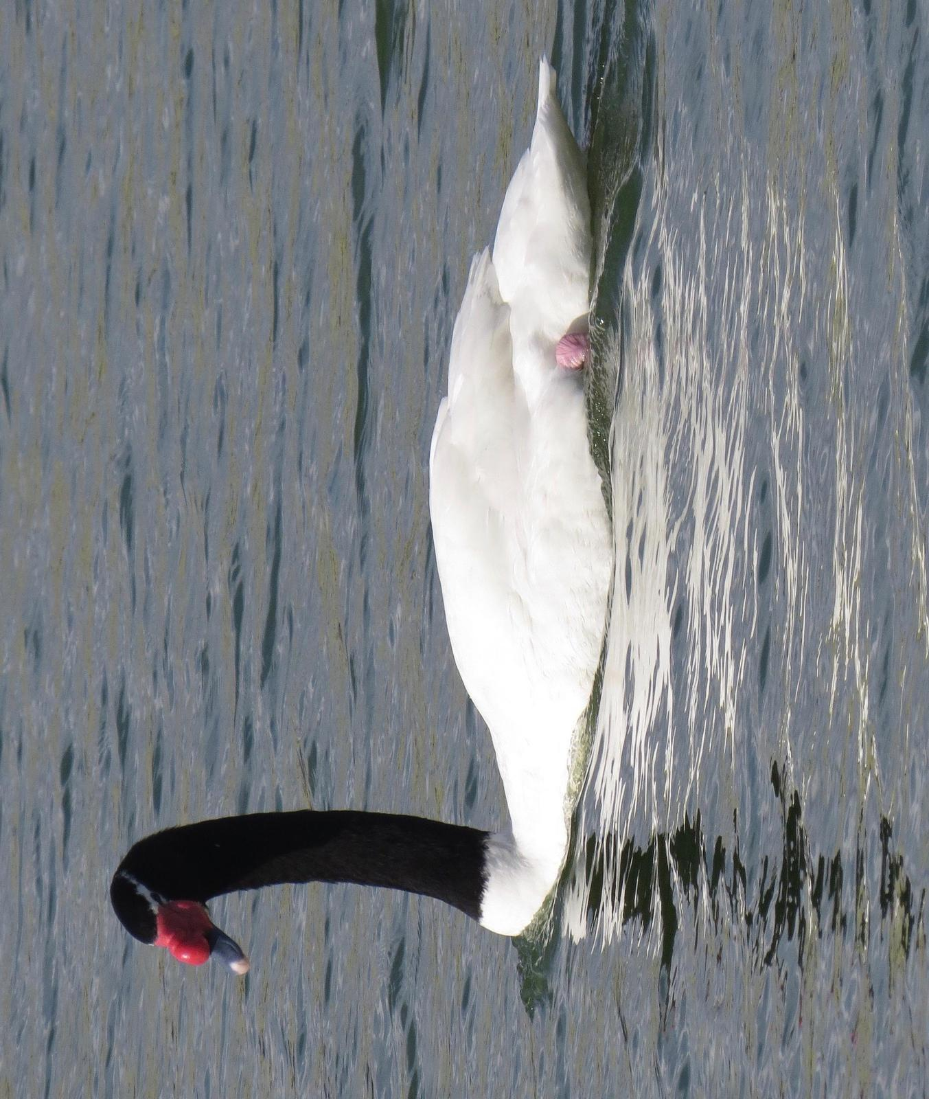 Black-necked Swan Photo by Don Glasco