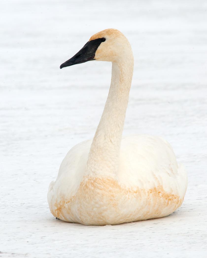 Trumpeter Swan Photo by Josh Haas