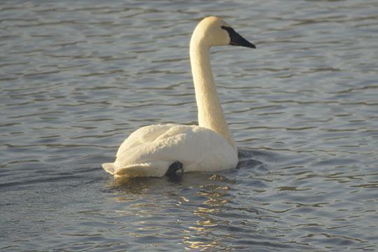 Trumpeter Swan Photo by Dan Tallman