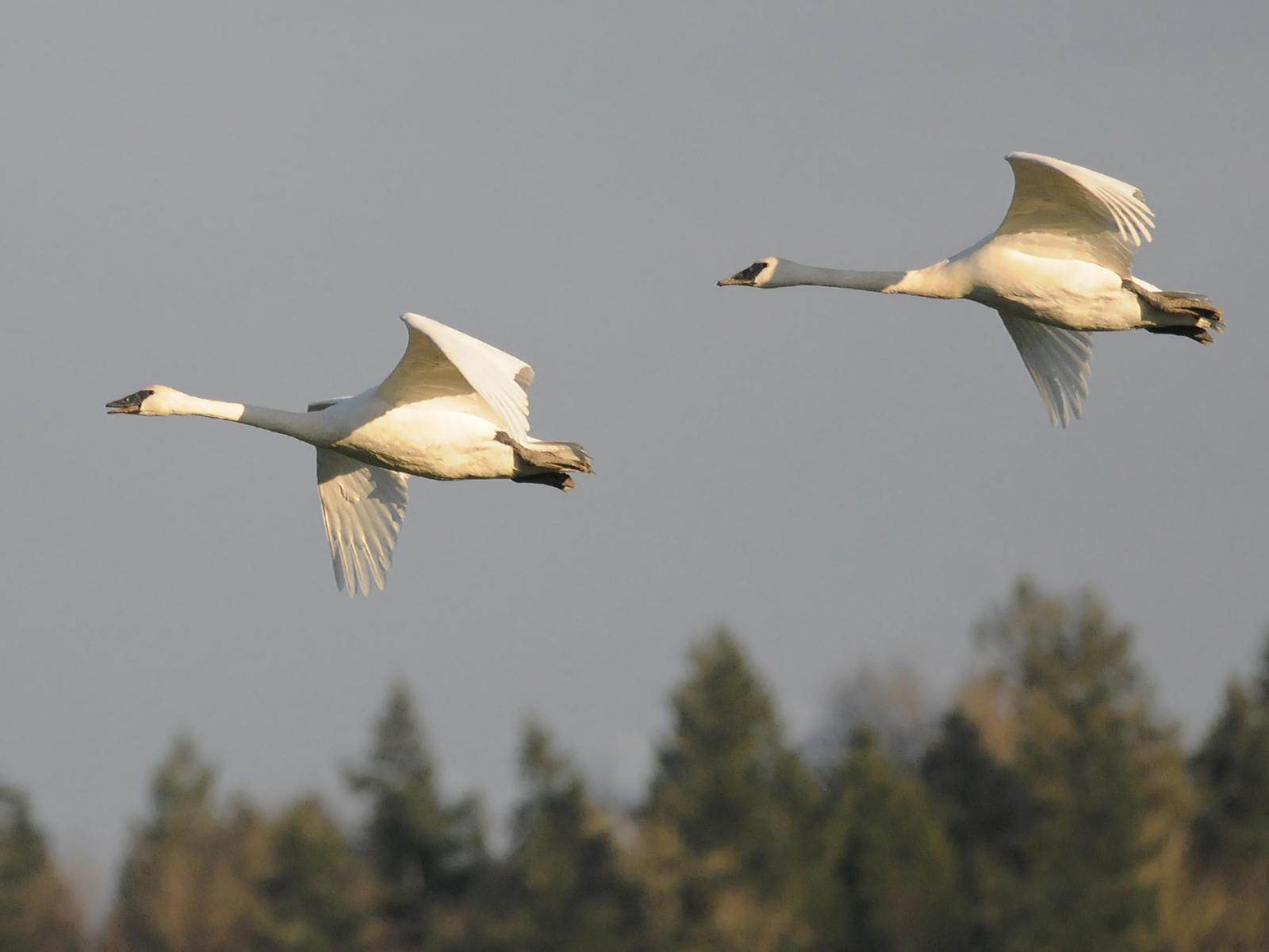 Trumpeter Swan Photo by Steven Mlodinow