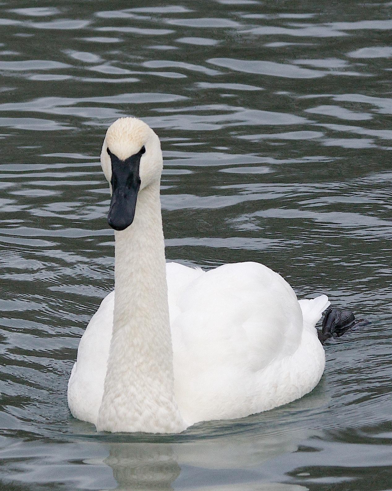 Trumpeter Swan Photo by Gerald Hoekstra