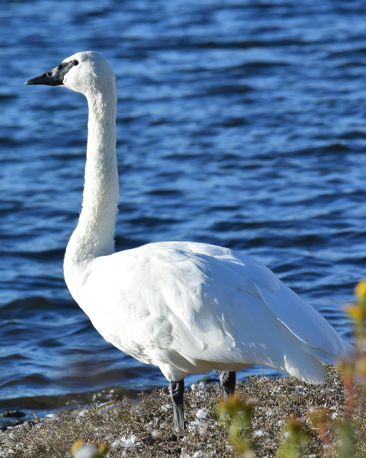 Trumpeter Swan Photo by Steve Percival