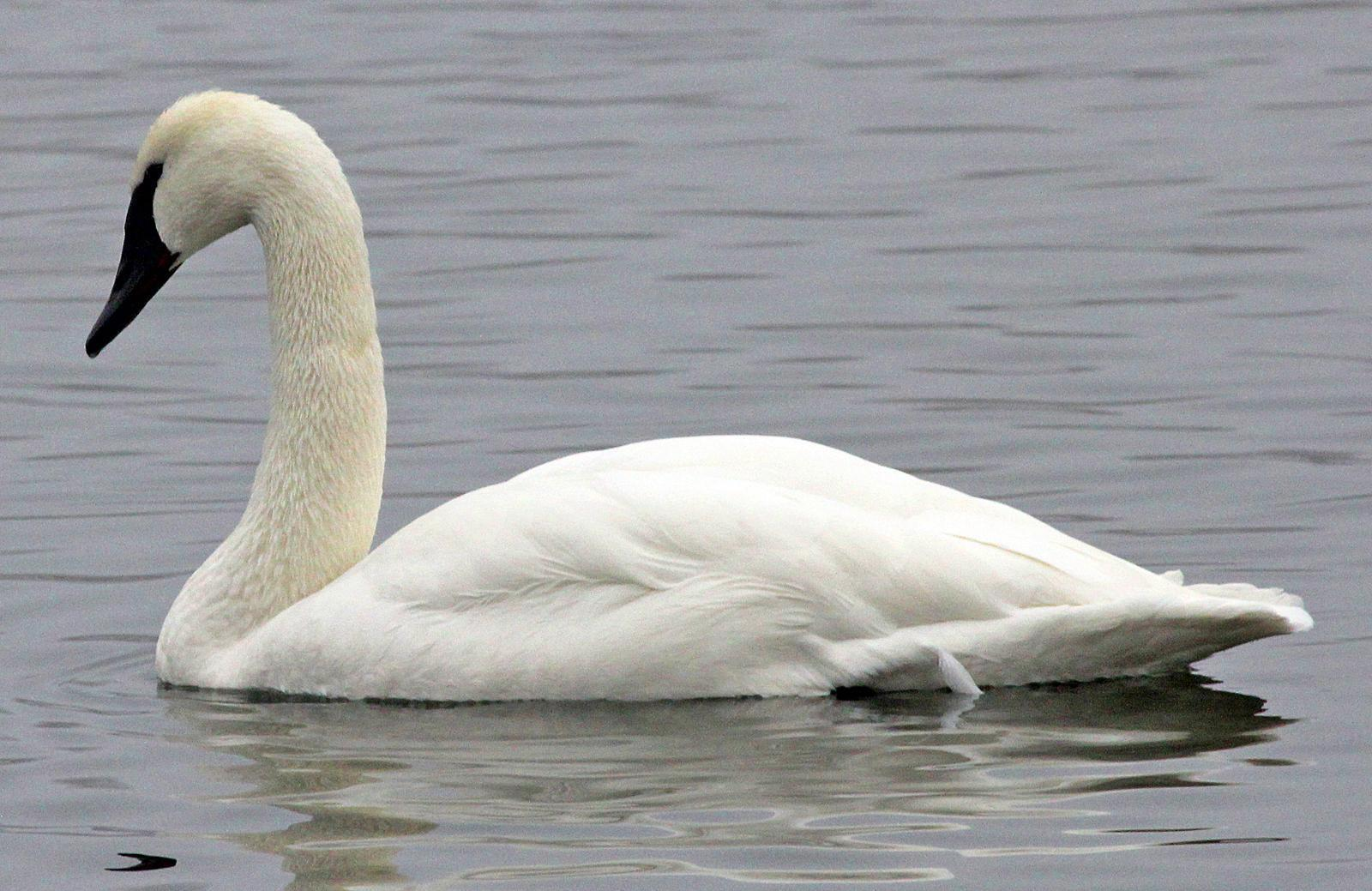 Trumpeter Swan Photo by Tom Gannon