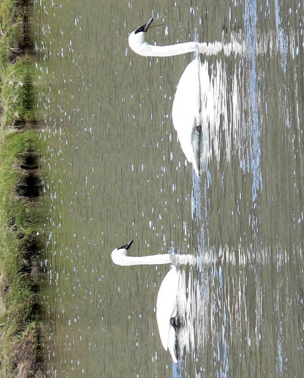 Trumpeter Swan Photo by Peter Lowe
