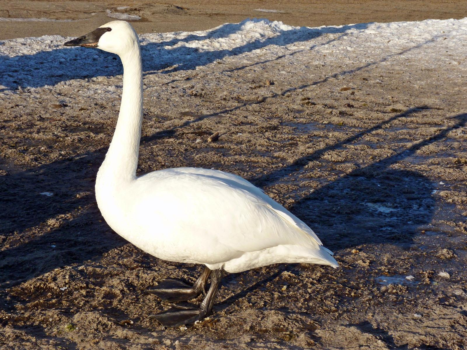 Trumpeter Swan Photo by Bob Neugebauer