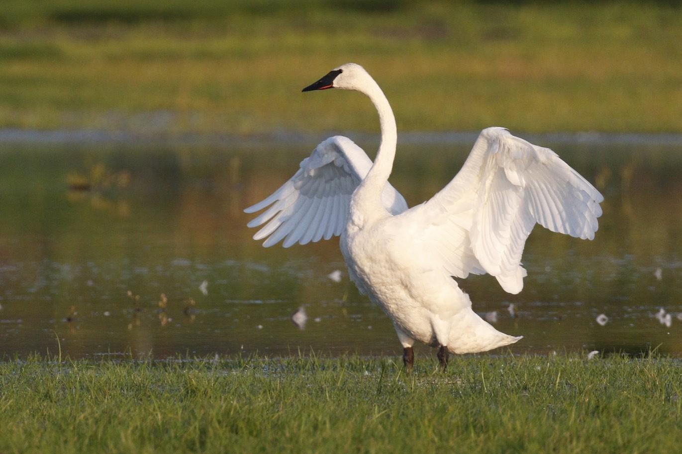 Trumpeter Swan Photo by Emily Willoughby
