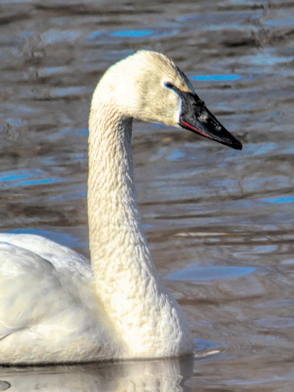 Trumpeter Swan Photo by Dan Tallman