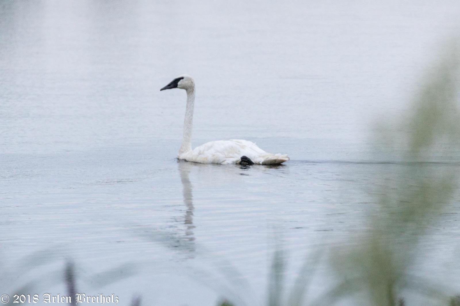 Trumpeter Swan Photo by Arlen Breiholz