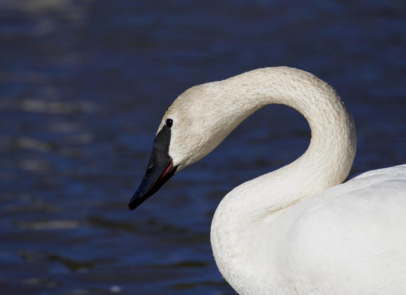 Trumpeter Swan Photo by