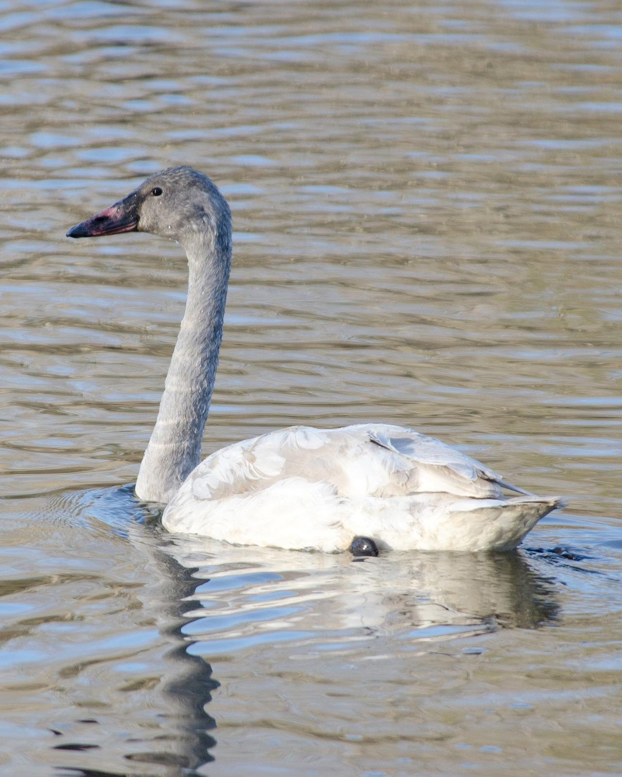 Trumpeter Swan Photo by Pete Myers