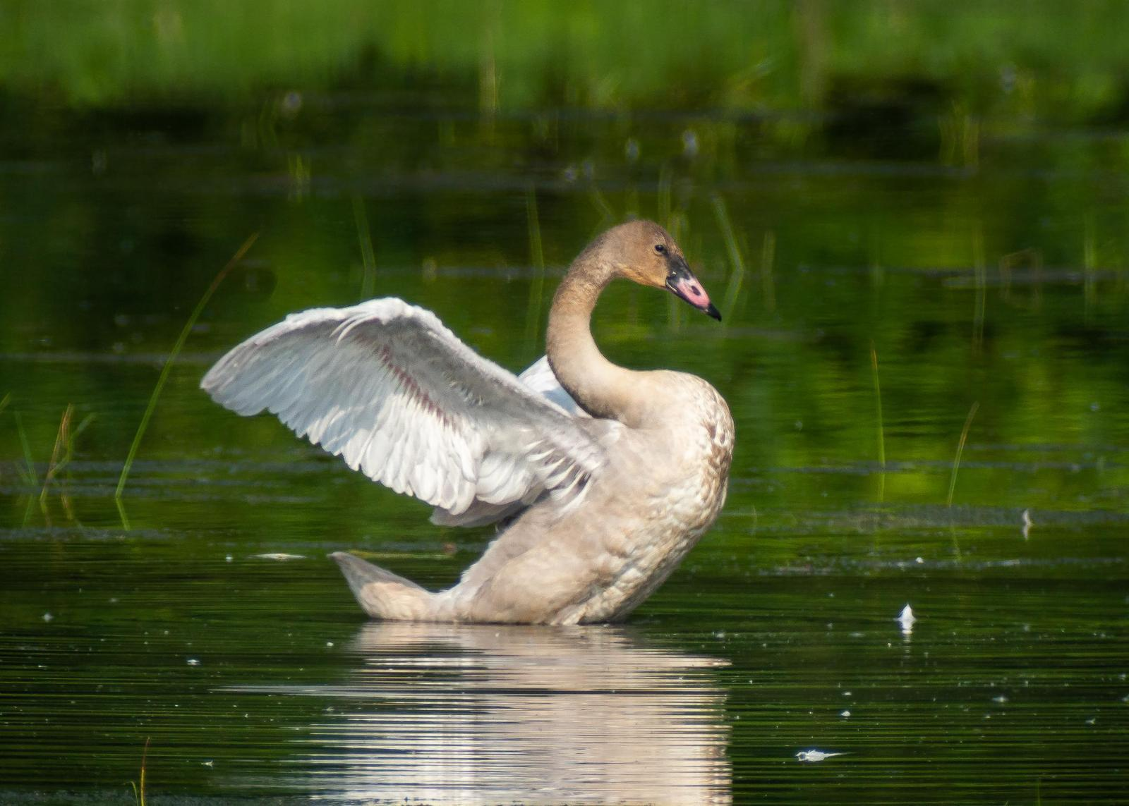 Trumpeter Swan Photo by Gerald Hoekstra