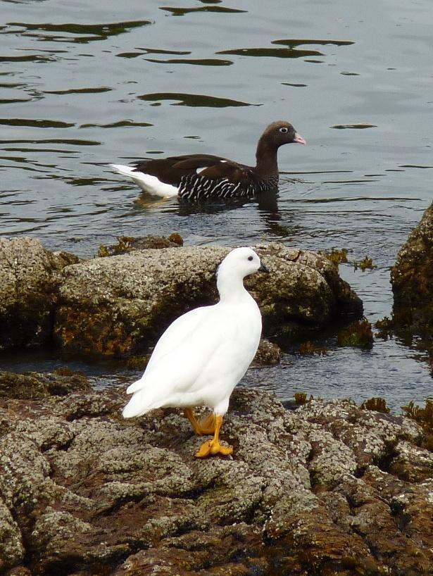 Kelp Goose Photo by Montserrat Lara